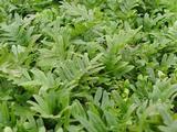 Polypodium vulgare 'Whitley Giant'