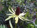 Rudbeckia occidentalis 'Green Wizard'