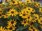 Rudbeckia fulgida 'Little Goldstar' PBR