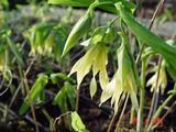 Uvularia grandiflora var. pallida