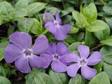 Vinca minor 'Flower Power'