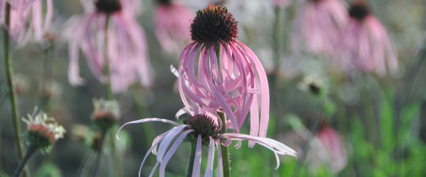ECHINACEA PALLIDA JS® SATIN LIGHTS.JPG