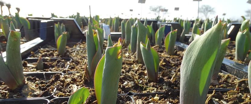 Bloembollen in pot verkrijgbaar op vasteplant.be
