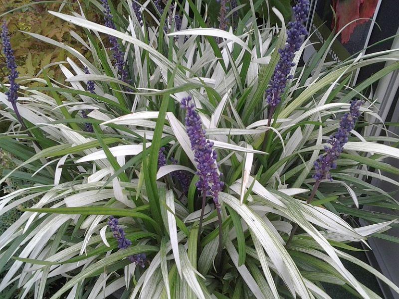 Plant Van De Maand Liriope Op Vasteplantbe