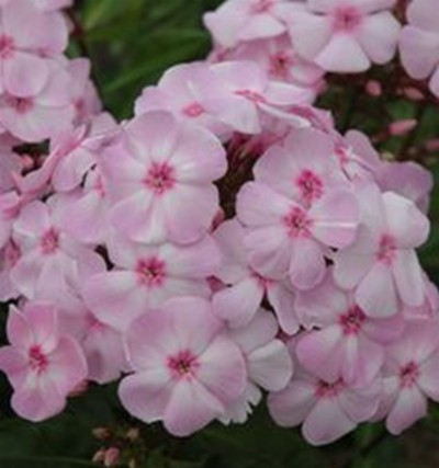 Phlox 'Magical Favourite' ®