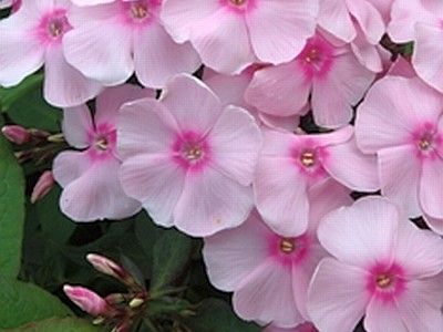 Phlox 'Sweet Sensation' ®